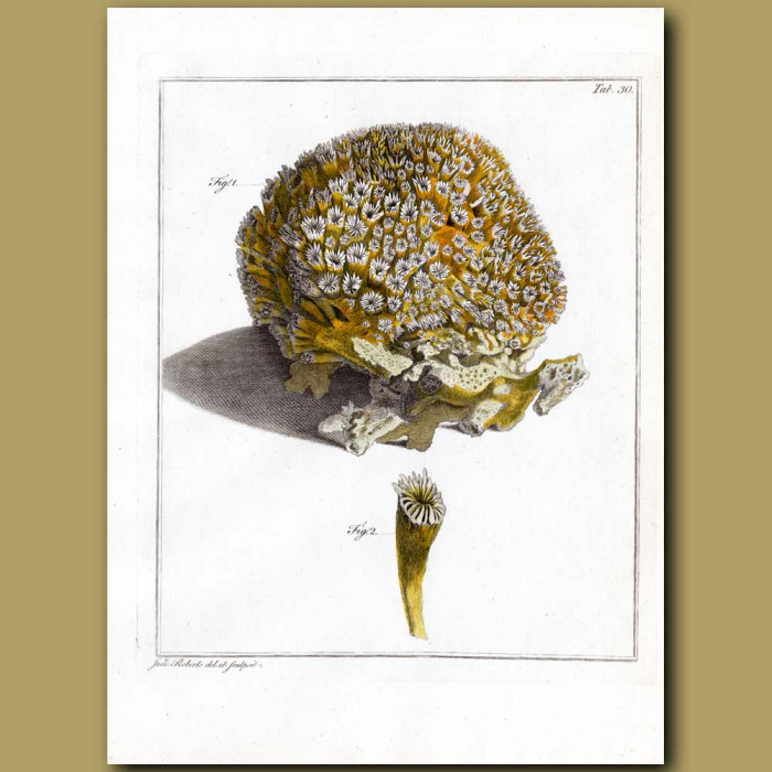 Galaxy Coral: Genuine antique print for sale.