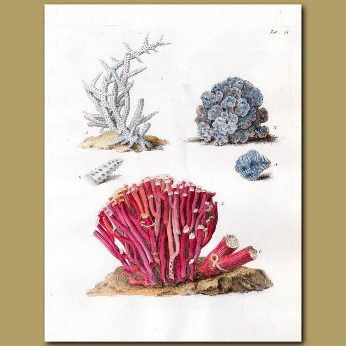 Coral: Madrepora coral: Genuine antique print for sale.