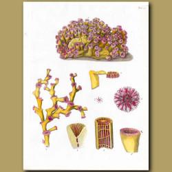 Coral: Madrepora