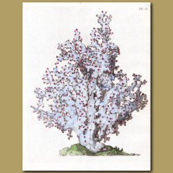 Coral: Ivory Tree coral