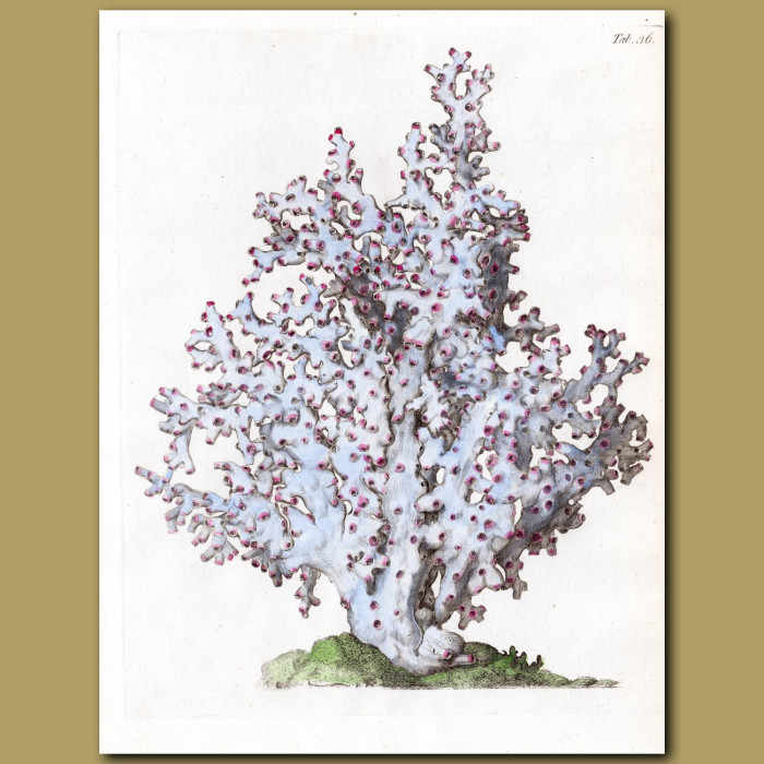 Coral: Ivory Tree coral: Genuine antique print for sale.