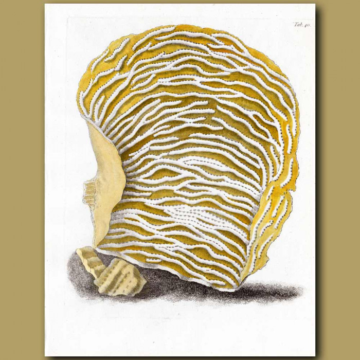 Scroll Coral: Genuine antique print for sale.