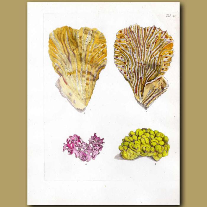 Merulina Hard Corals: Genuine antique print for sale.