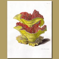 Coral: Pagoda coral
