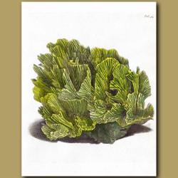 Lettuce Coral