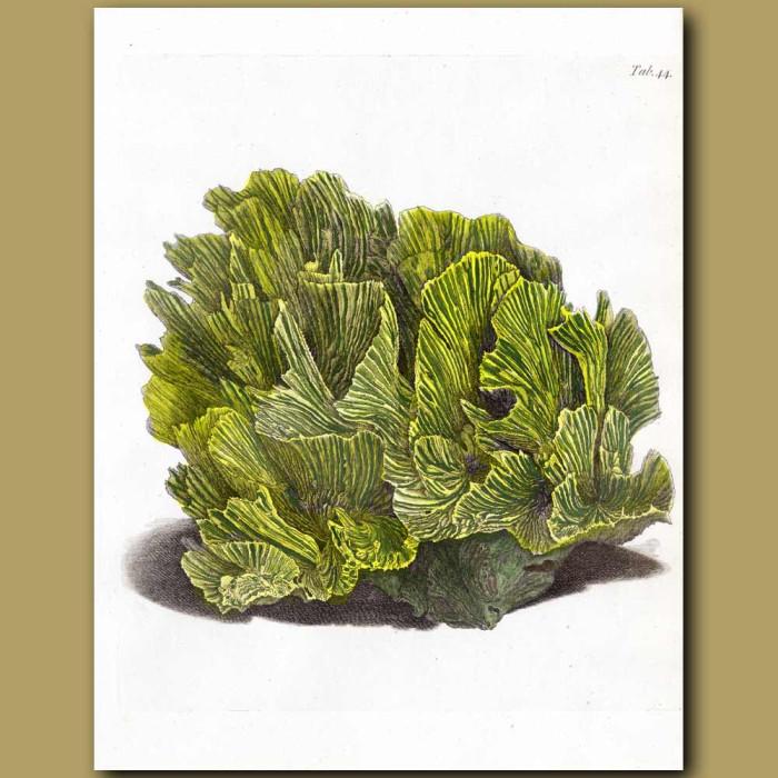 Lettuce Coral: Genuine antique print for sale.