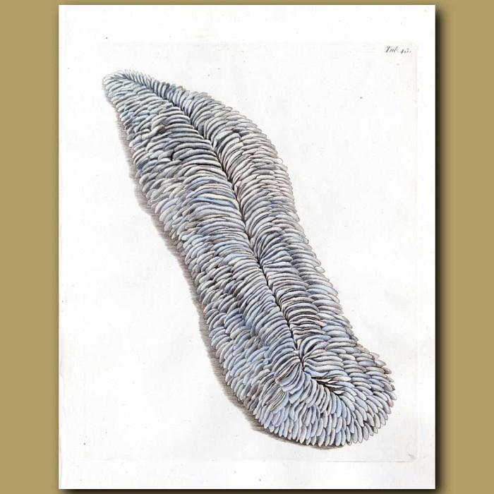 Coral: Oblong Madrepore: Genuine antique print for sale.