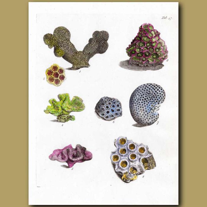 Stony Corals: Rose Coral, Starburst Coral: Genuine antique print for sale.