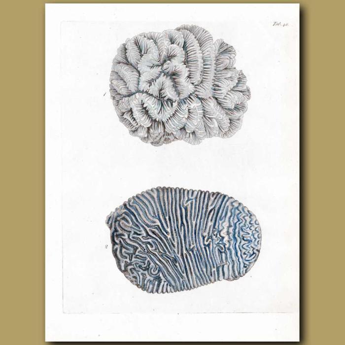 Coral:Madrepora implicata: Genuine antique print for sale.