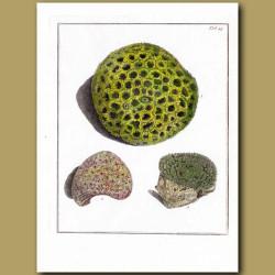 Madrepora Stony Coral