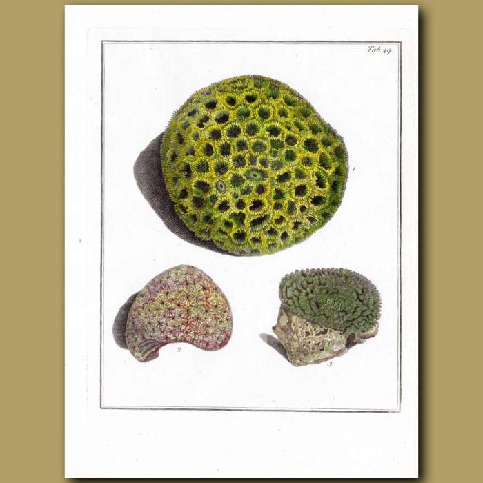 Madrepora Stony Coral: Genuine antique print for sale.