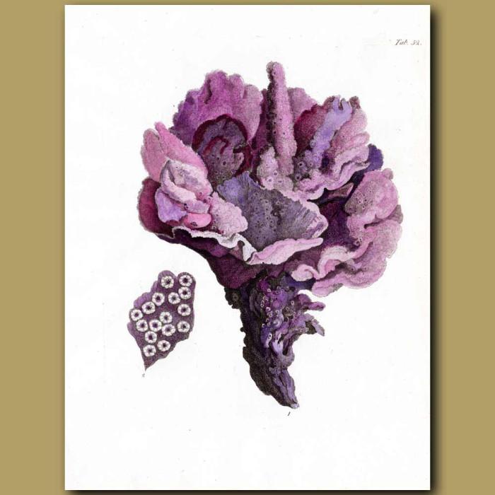 Coral: Madrepora Stellulata: Genuine antique print for sale.