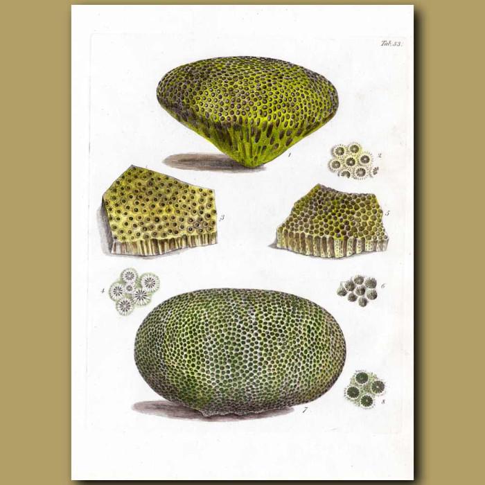Stony Corals: Genuine antique print for sale.