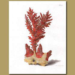 Coral: Stony coral
