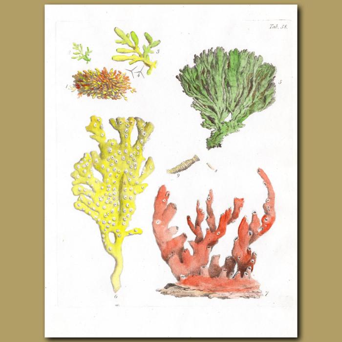 Coral: Lace Coral: Genuine antique print for sale.