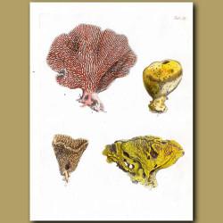 Sea Sponges From Tahiti