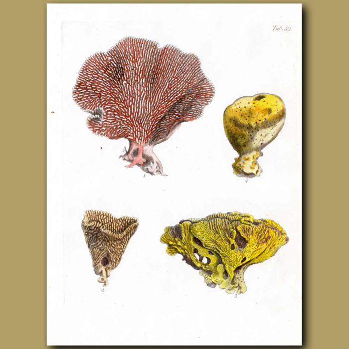 Sea Sponges From Tahiti: Genuine antique print for sale.
