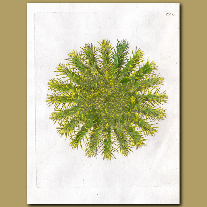 Coral: Stony coral: Genuine antique print for sale.