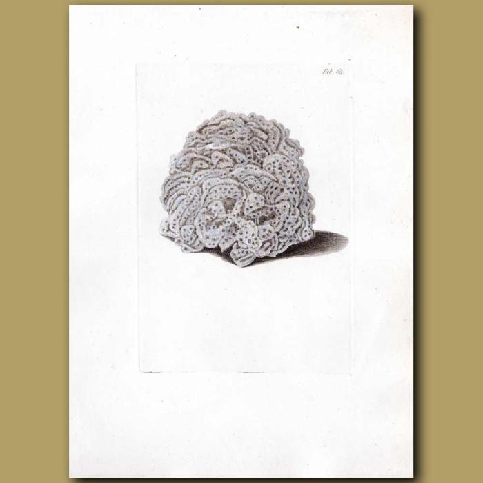 Bubbled Coral: Genuine antique print for sale.