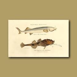 Isinglass Sturgeon and Mailed Bull-head fish