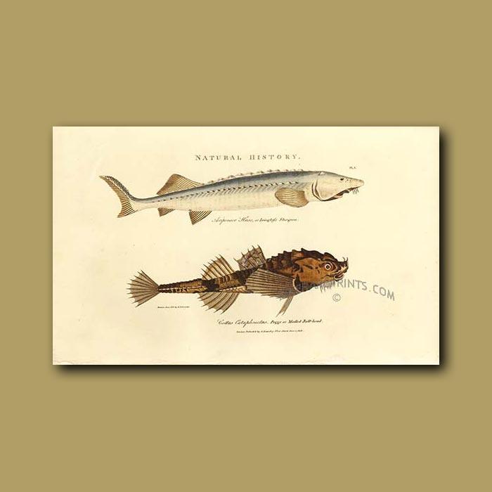 Antique print. Isinglass Sturgeon and Mailed Bull-head fish