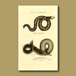 Speckled Worm Lizard (Fuliginour amphisboena) and Java Wart Snake (Acrocordus of Java)