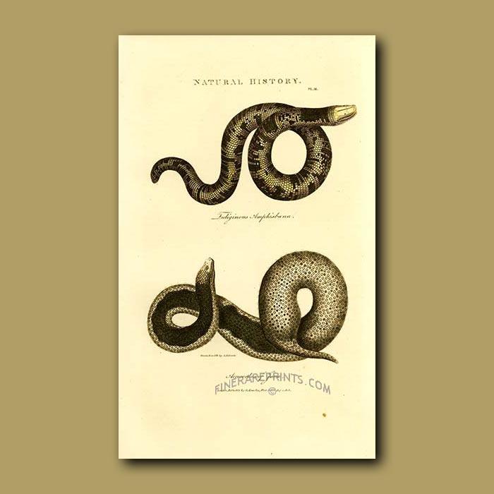 Antique print. Speckled Worm Lizard (Fuliginour amphisboena) and Java Wart Snake (Acrocordus of Java)