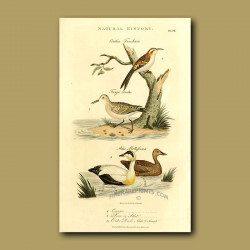 Creeper, Stint And Eider Duck