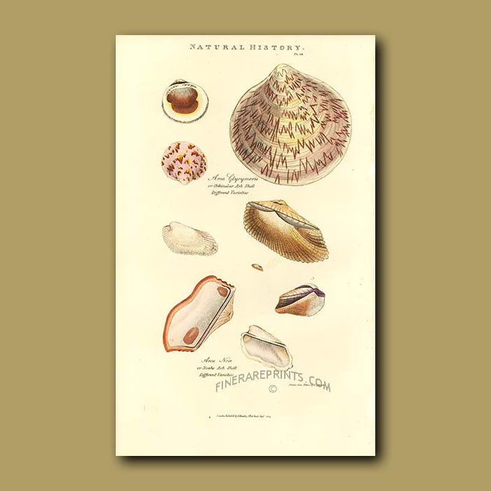 Antique print. Ark Shell and Noah's Ark Shell