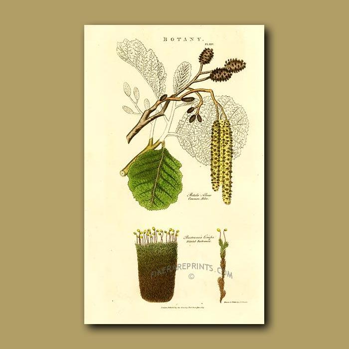 Antique print. Common Alder and Frizzled Bartramia