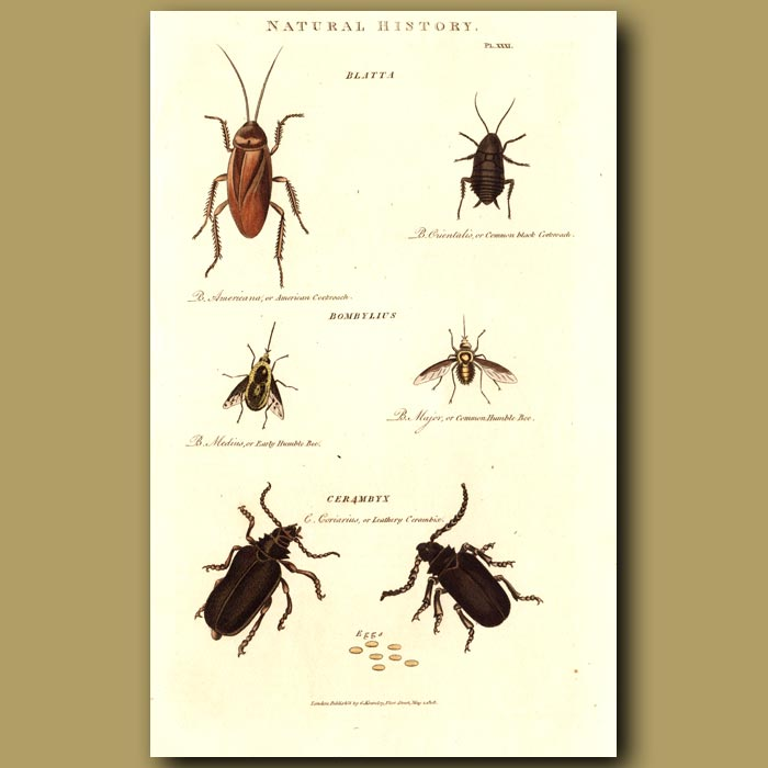 Antique print. Cockroachs and Longhorn Beetles
