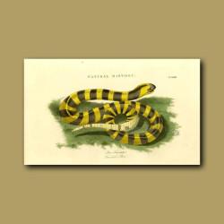 Fasciated Boa (Boa fasciata )