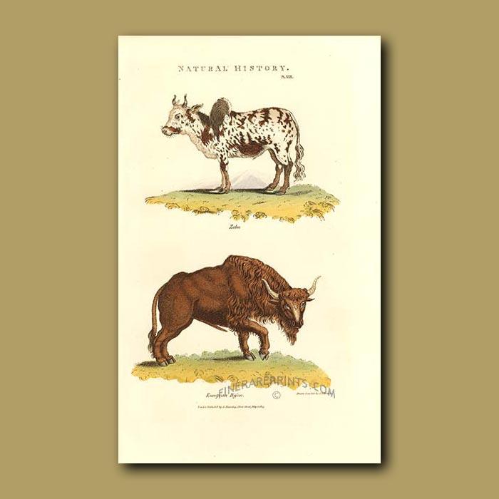 Antique print. Zebu and European Bison
