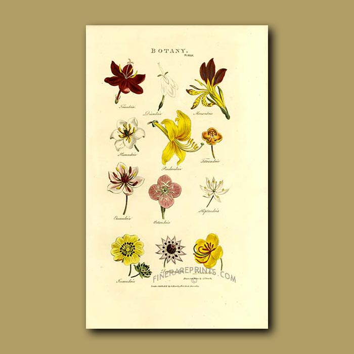 Antique print. Botany, orders of flowers and other plants