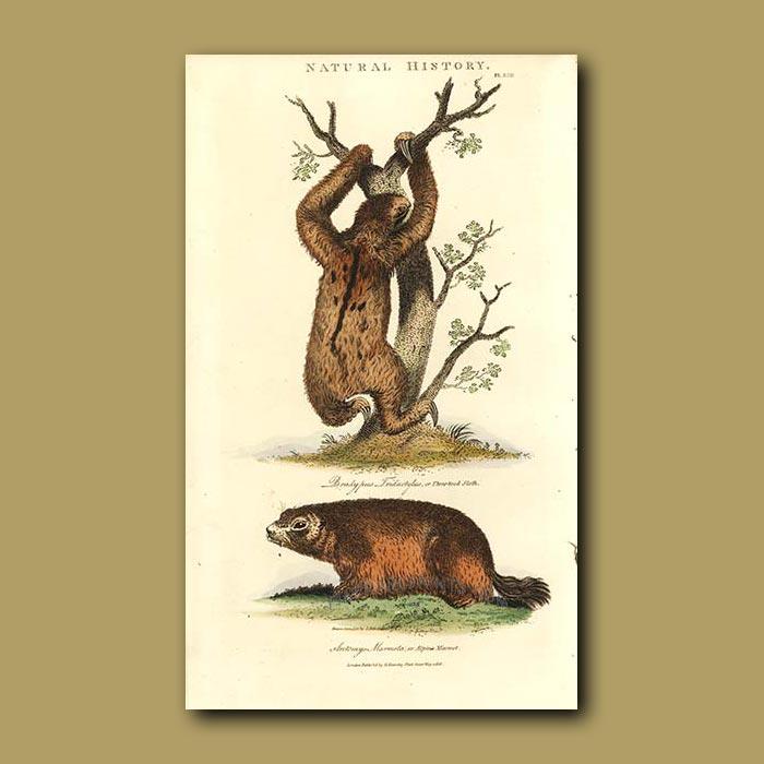 Antique print. Three-toed Sloth and Alpine Marmot