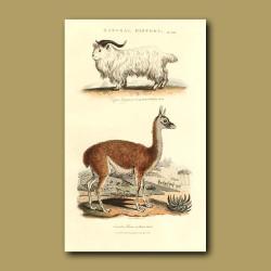 Long Horned Whidaw Goat and Llama