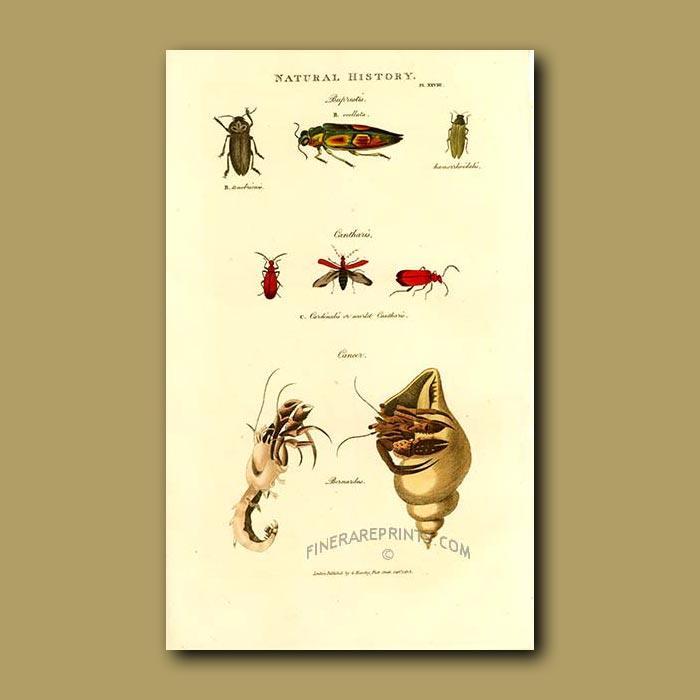 Antique print. Beetles and Hermit Crab