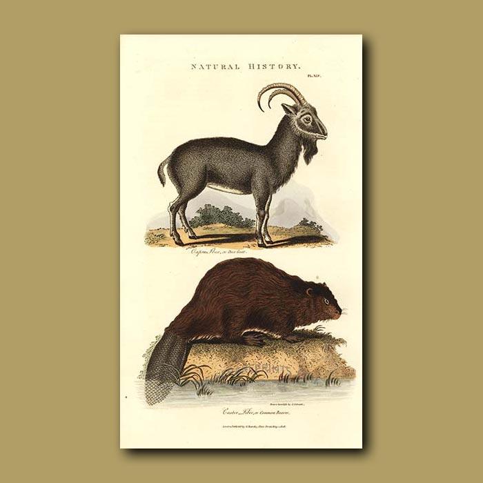 Antique print. Ibex Goat and Common Beaver
