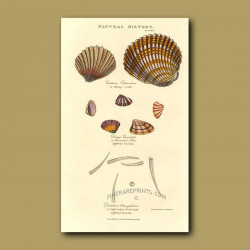 Thorny Cockle and Tooth-shells
