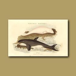 Beluga and Orca or Killer Whales