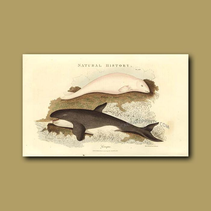 Antique print. Beluga and Orca or Killer Whales