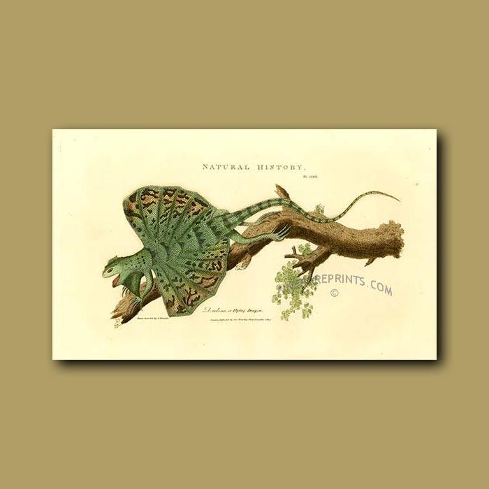 Antique print. Flying Dragon