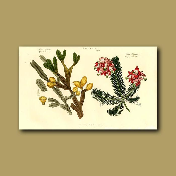 Antique print. Spiral Fucus Sea Weed and Elegant Heath