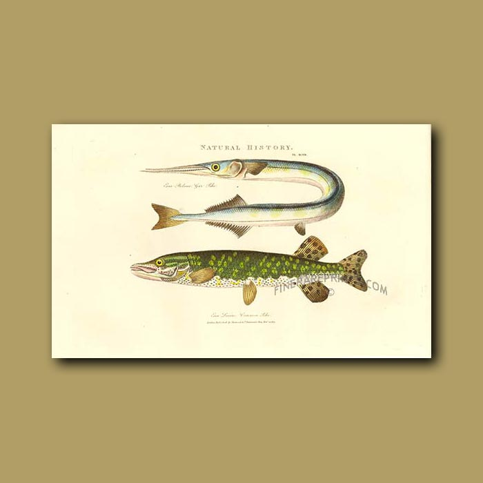 Antique print. Gar Pike and Common Pike