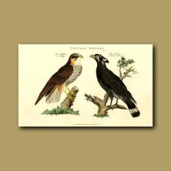 Hobby And Bacha Falcon