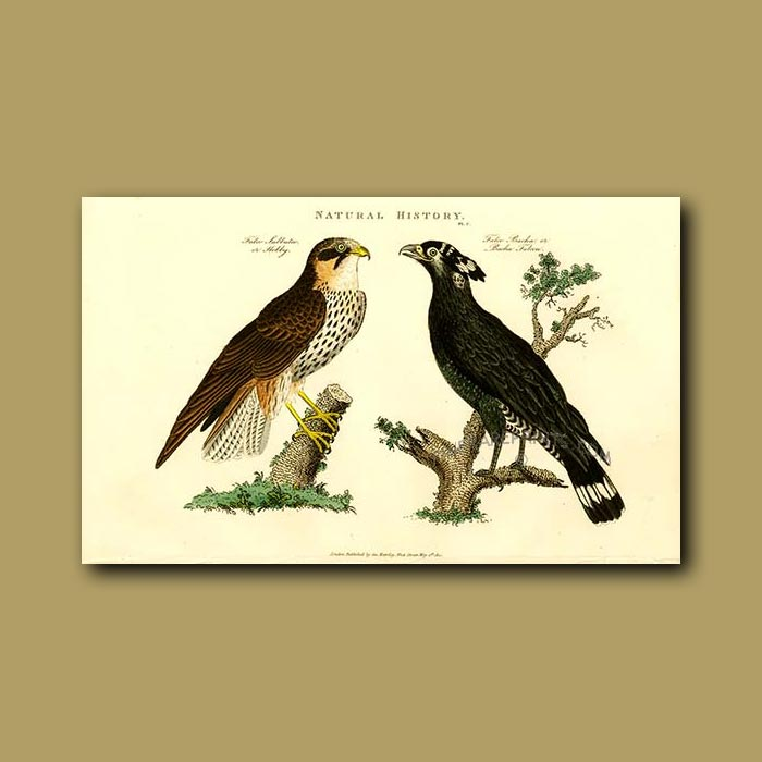 Antique print. Hobby and Bacha Falcon
