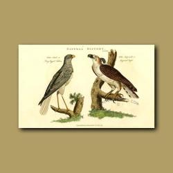 Long-Legged Falcon And Imperial Eagle