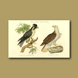 Crested African Falcon And Goshawk