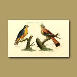 Bengal Hawk And Merlin