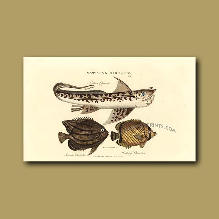 Antique print. Northern Chimoera, Annular Chaetodon and Wandering Chaetodon Fish